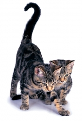 avoir un chat en appartement fiches conseils. Black Bedroom Furniture Sets. Home Design Ideas
